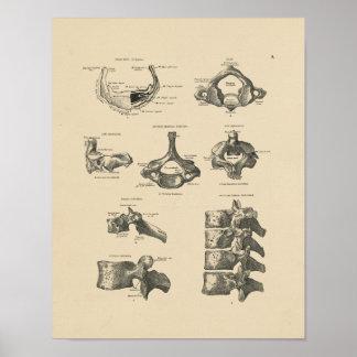 Vintage Vertebral Bones 1880 Print