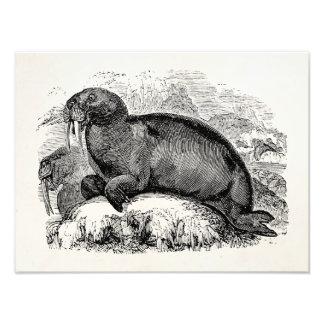 Vintage Walrus 1800s Walruses Illustration Photo Print