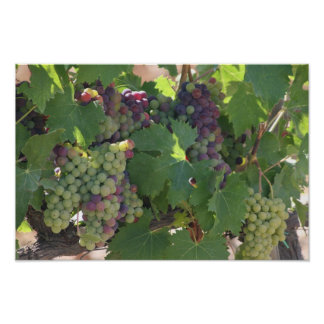 Vinyard Grapes Poster