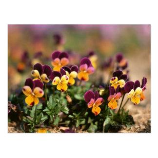 Violet 2 postcard