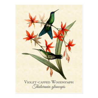 Violet Capped Wood Nymph Hummingbird Art Postcard