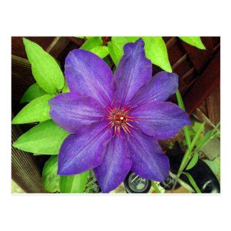 Violet Clematis Flower Postcard