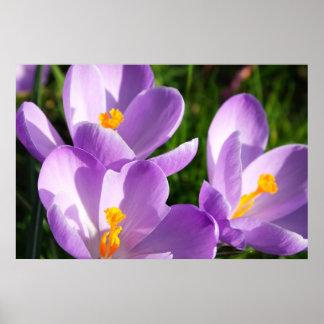Violet crocus - Poster