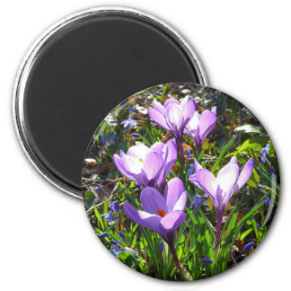 Violet crocuses 02.0, spring greetings magnet