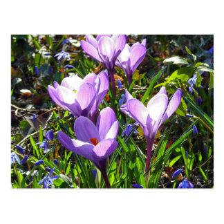 Violet crocuses 02.0, spring greetings postcard