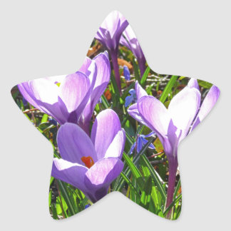 Violet crocuses 02.0, spring greetings star sticker