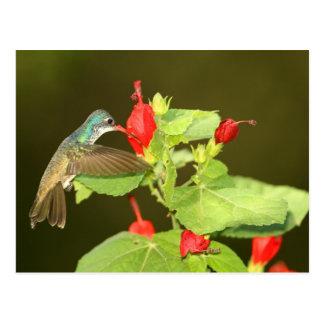 Violet-crowned x Broad-billed hybrid hummingbird Postcard