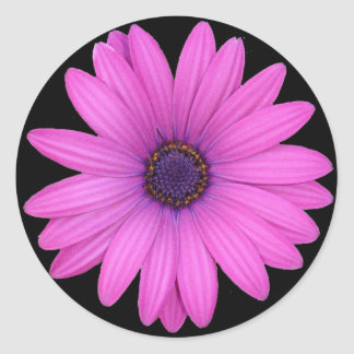 Violet Pink Osteospermum Flower Isolated on Black Round Sticker
