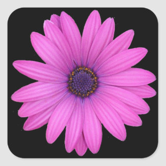 Violet Pink Osteospermum Flower Isolated on Black Square Sticker