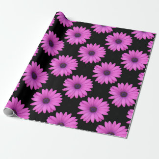 Violet Pink Osteospermum Flower Isolated on Black Wrapping Paper