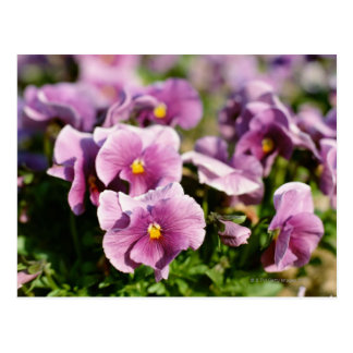 Violet Postcard