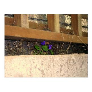Violets postcard