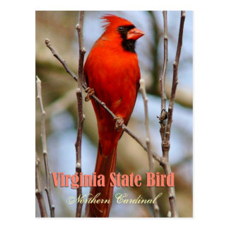 Virginia State Bird - Northern Cardinal Postcard