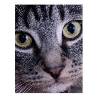 Visage gris de chaton carte postale