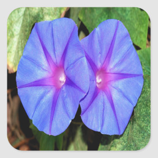 Vivid Blue, Purple and Pink Ipomoea Flowers Square Sticker