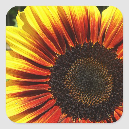 Vivid Sunflower Closeup Square Stickers