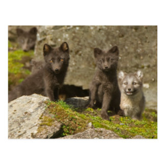 Vixen with kits outside their den postcard
