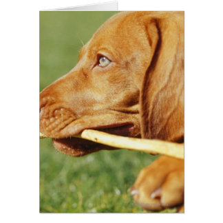 Vizsla puppy in park with stick in mouth, card