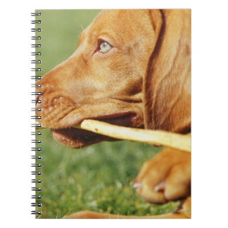 Vizsla puppy in park with stick in mouth, notebook