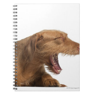Vizsla yawning in front of white back ground spiral notebooks