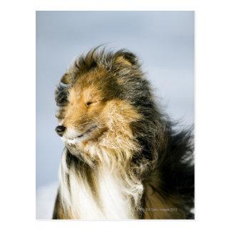 Vue de chien de berger de Shetland Carte Postale