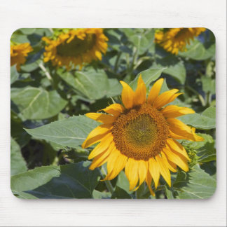 WA, Kittitas County, Sunflower Field 2 Mouse Pad