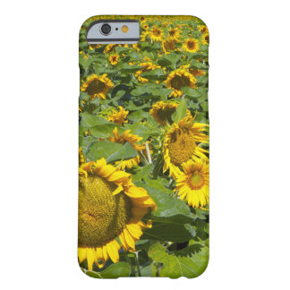 WA, Kittitas County, Sunflower Field Barely There iPhone 6 Case