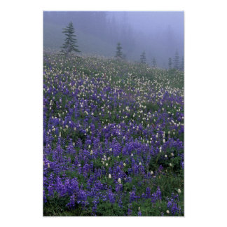 WA, Mt. Rainier NP, Lupine and Bistort meadow Poster