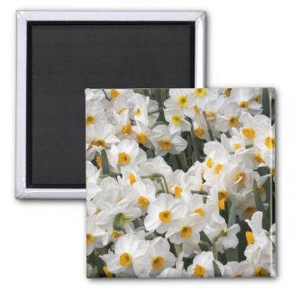 WA, Skagit Valley, Daffodil pattern Square Magnet