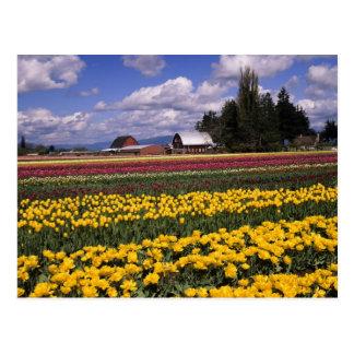 WA vallée de Skagit tulipe de vallée de Skagit Carte Postale