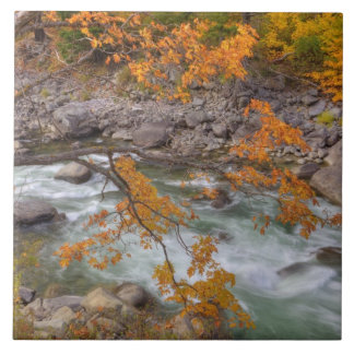 WA, Wenatchee National Forest, Maple tree and Tiles