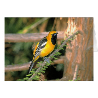 Walk on the Wild Side - Oriole Card