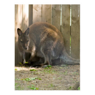 wallaby postcard