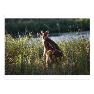 WALLABY RURAL QUEENSLAND AUSTRALIA POSTCARD