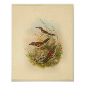 Wallace's Todopsis Wren Brown Bird Vintage Print