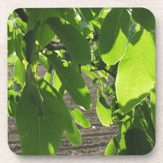 Walnut tree branches with green leaves drink coaster