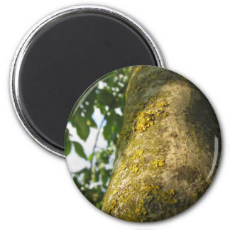 Walnut tree trunk with yellow moss fungus magnet