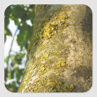 Walnut tree trunk with yellow moss fungus square sticker