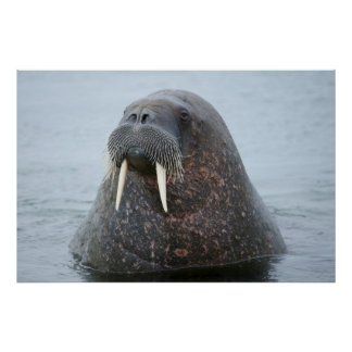 Walrus Close-up in water, Norwaying Poster