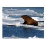Walrus in the Arctic Ocean