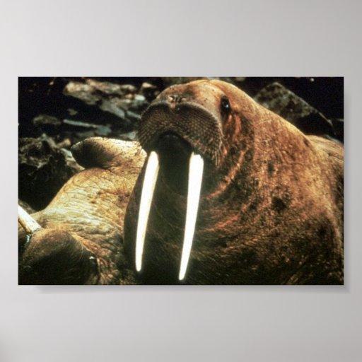Walrus Male Print