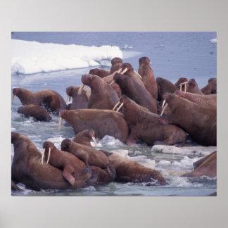 walrus, Odobenus rosmarus, on the pack ice of Poster