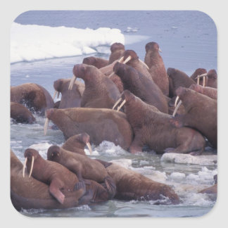 walrus, Odobenus rosmarus, on the pack ice of Square Sticker