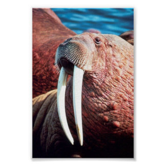 Walrus Poster