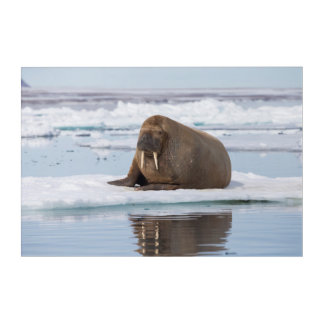 Walrus resting on ice, Norway Acrylic Print