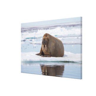 Walrus resting on ice, Norway Canvas Print
