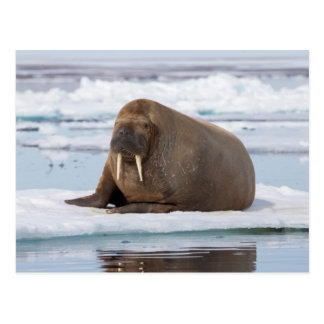 Walrus resting on ice, Norway Postcard