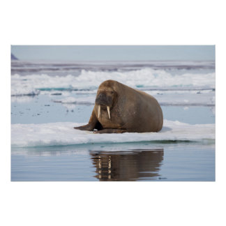 Walrus resting on ice, Norway Poster
