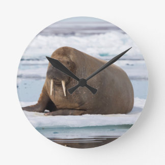 Walrus resting on ice, Norway Round Clock