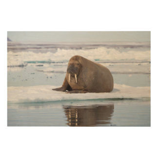 Walrus resting on ice, Norway Wood Print